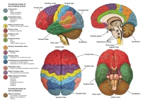 brain-anatomy-function
