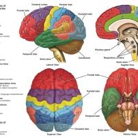 brain-anatomy-function